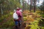 13. Panie zbierające żurawinę. Najczęściej tą ciężką pracę wykonują kobiety, których średnia wieku jest około 70 lat.