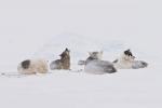 3. Psy spędzają na lodzie kilka miesięcy w roku